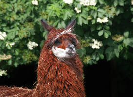 Llama by PenguinPhotography