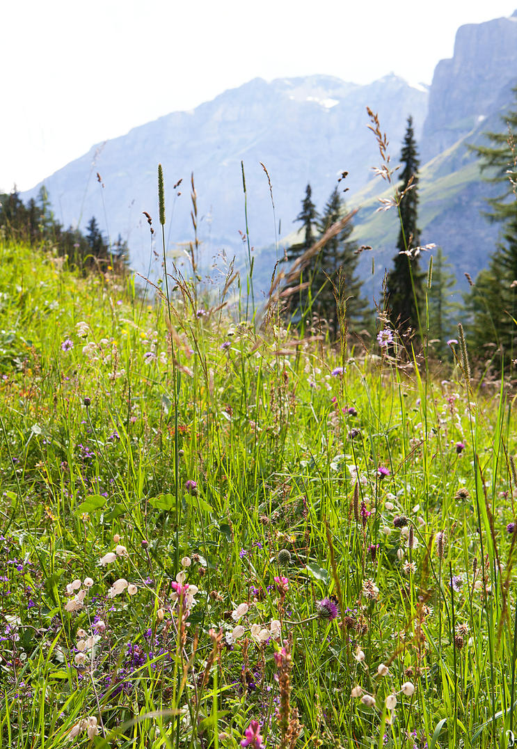 Flower Meadow In the Alps by PenguinPhotography
