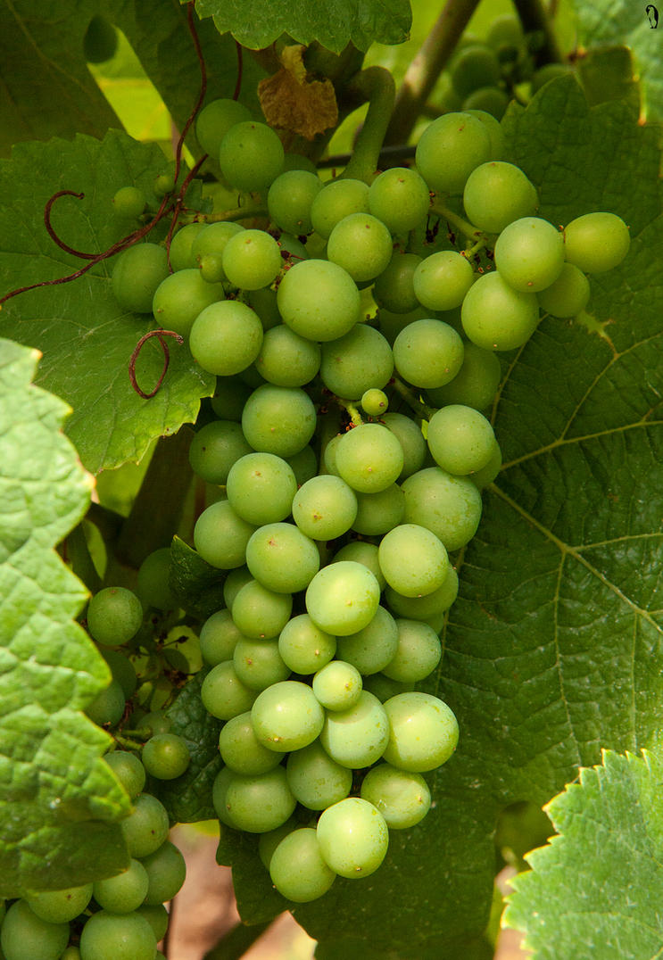 Grapes by PenguinPhotography