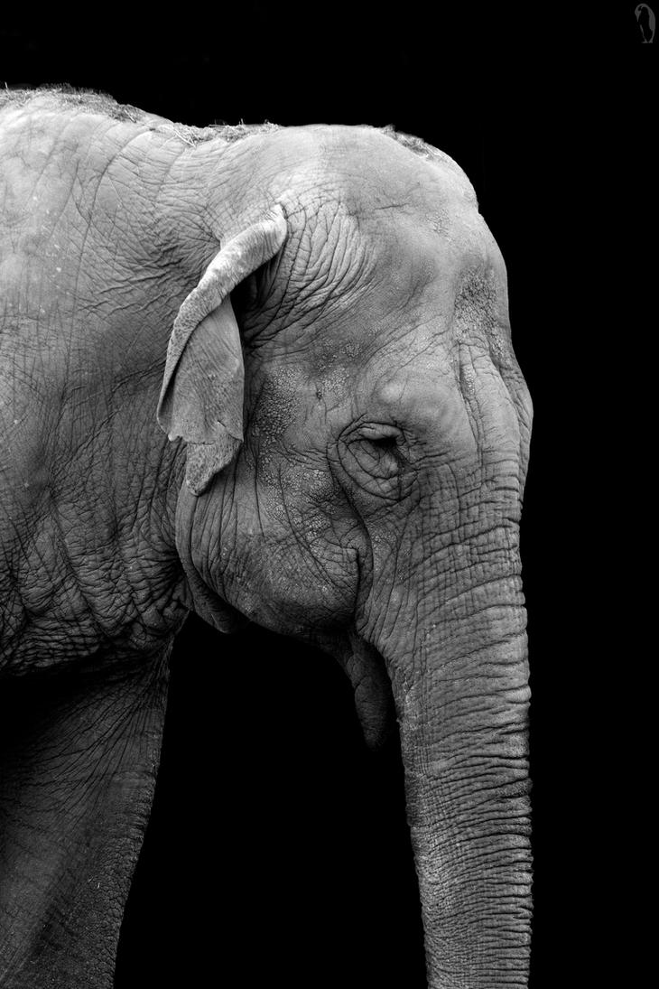 Old Female Elephant by PenguinPhotography