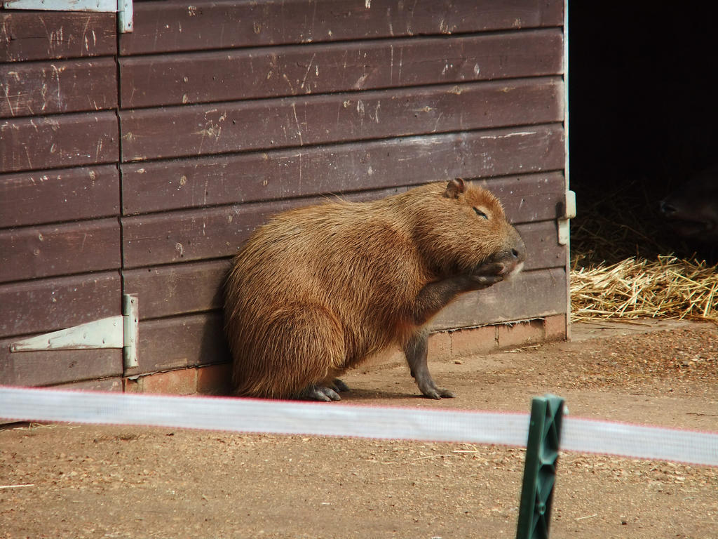 Pondering Capybara by 3starlight98