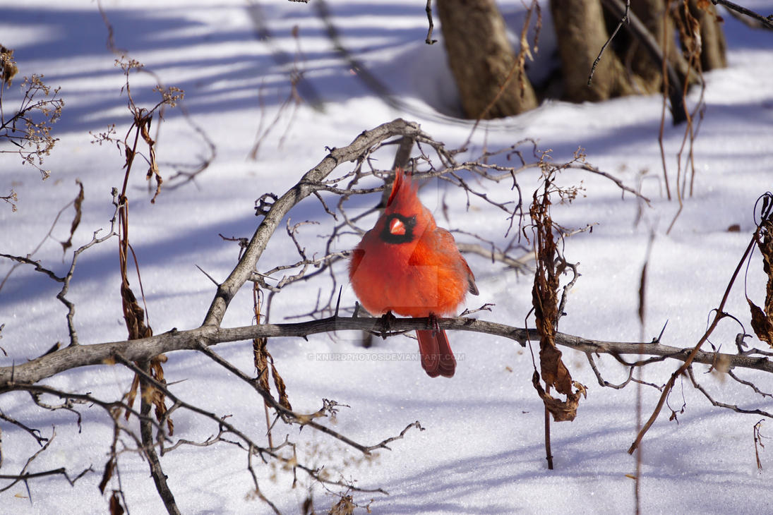 Cardinal by KnurdPhotos