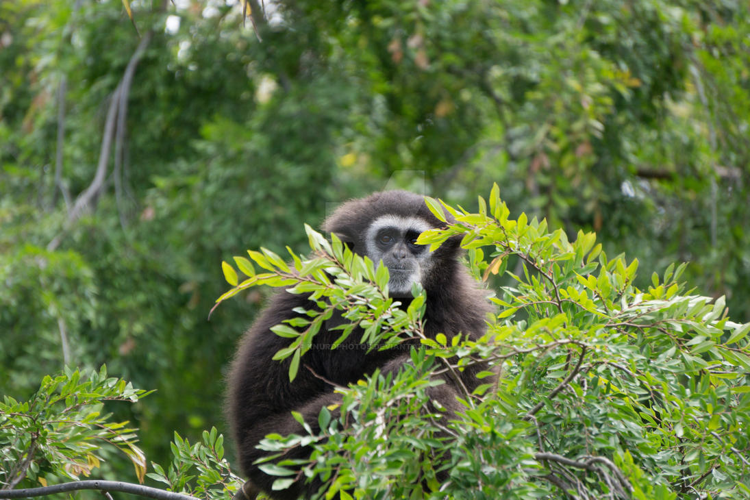 Gibbon by KnurdPhotos