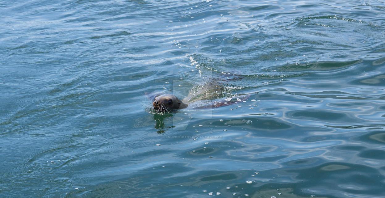 Harbor Seal by KnurdPhotos
