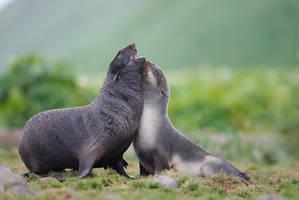 Gift : the seal hug by phalalcrocorax