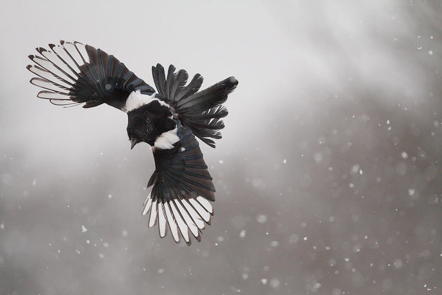 http://fc02.deviantart.net/fs71/i/2011/120/f/e/flying_in_the_snow_2_by_phalalcrocorax-d3f8fln.jpg