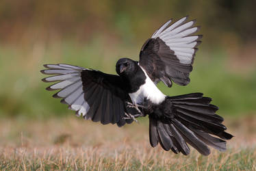 Daily news : magpie activity by phalalcrocorax