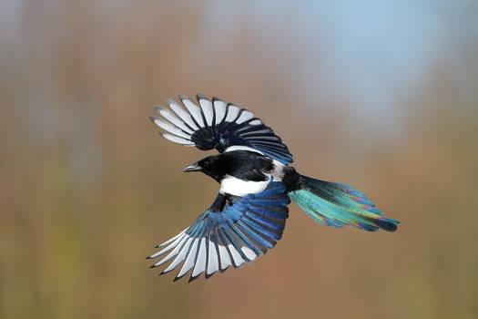 Rainbow magpie