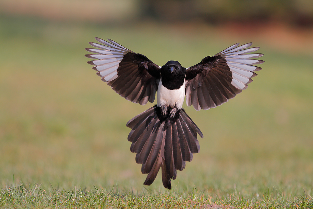 Magpie of the day by phalalcrocorax