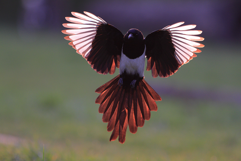 and a magpie by phalalcrocorax