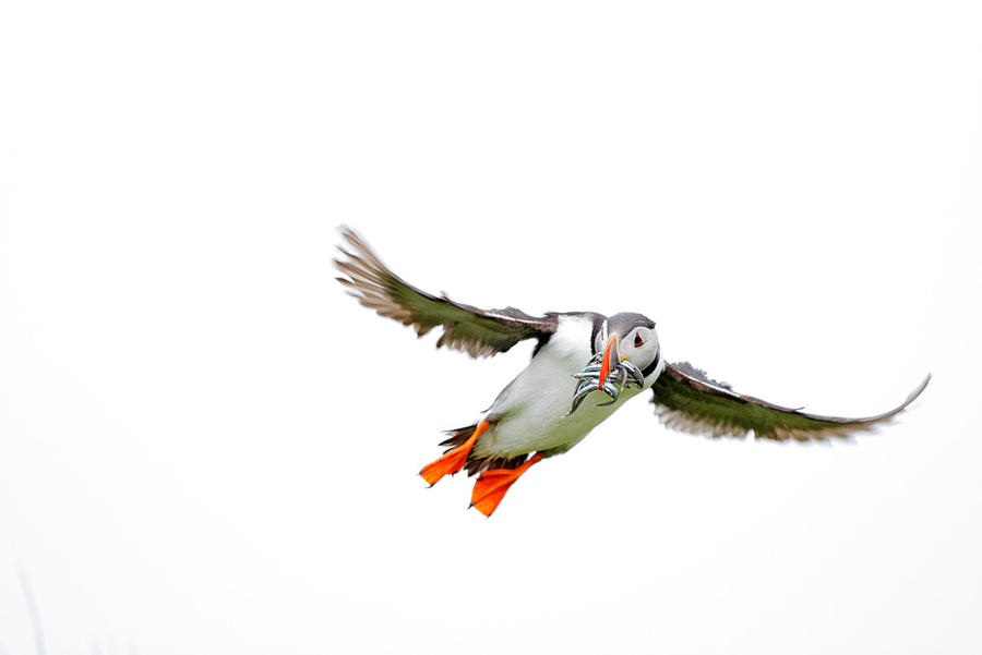 White puffin by phalalcrocorax