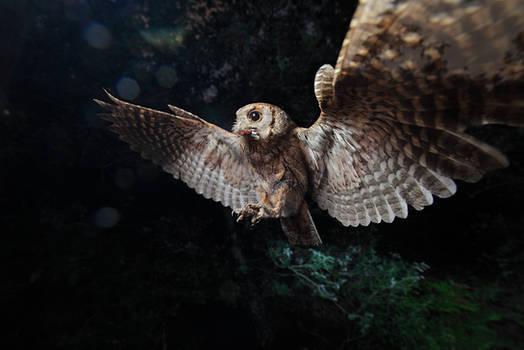 Scops owl... the tiny shadow