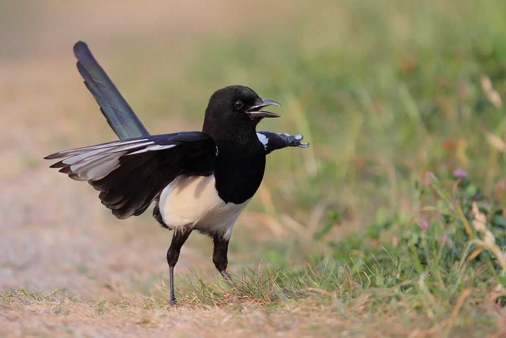 Magpie amaziness by phalalcrocorax
