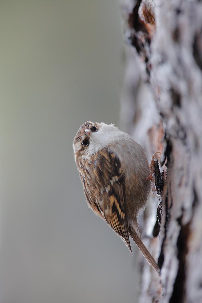 treecreeper by phalalcrocorax