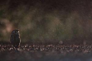 Wet owl by phalalcrocorax