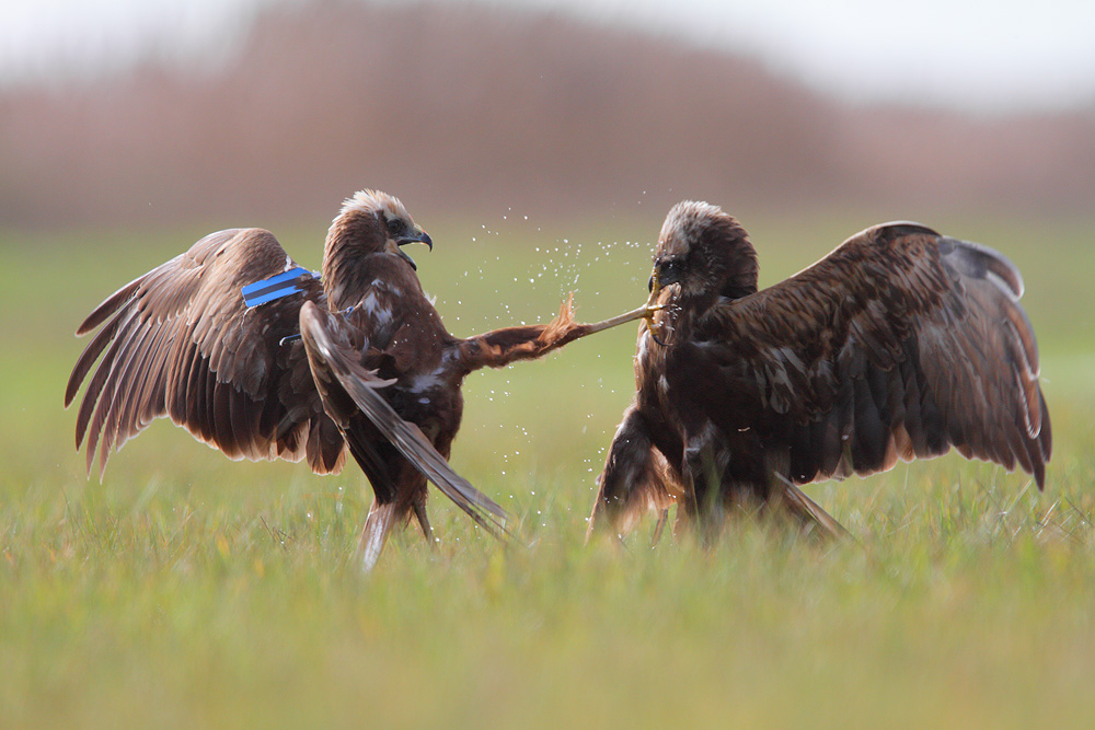 Busard kick by phalalcrocorax