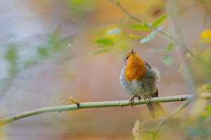 robin des buissons by phalalcrocorax
