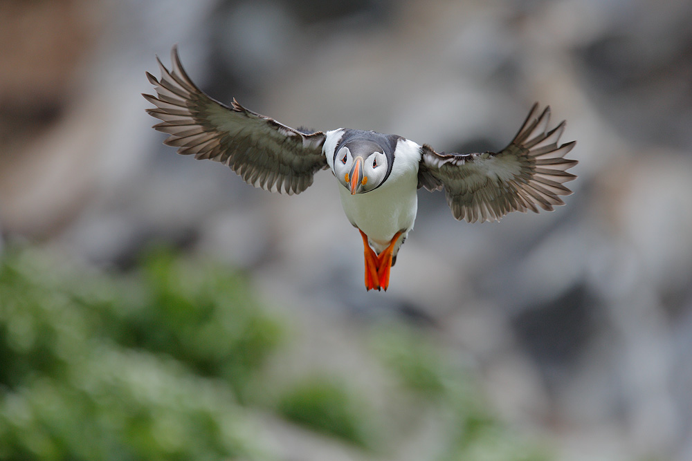 Did you see the puffins ??? by phalalcrocorax