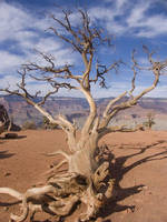 Tree in the Grand Canyon by strongerthanyou