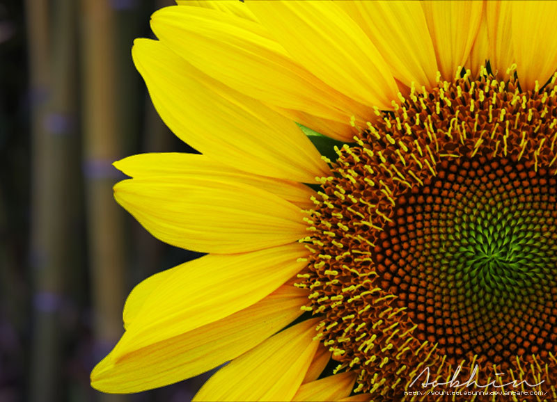 Sunflower I by YourLittleBunny