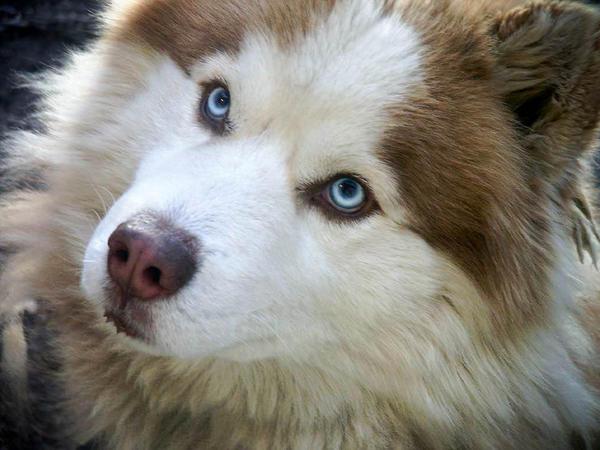 Siberian Husky by libertinex