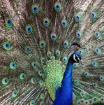 Peacock in Ohrid by Claire991