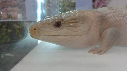 Blue-Tongued Skink by OneSmartChicken
