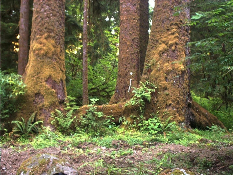 Big Trees in Forks, WA