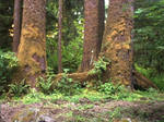 Big Trees in Forks, WA by RC-ForksWA