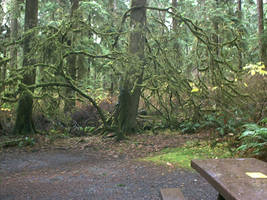 Mossy Vine Maple, ForksWA by RC-ForksWA