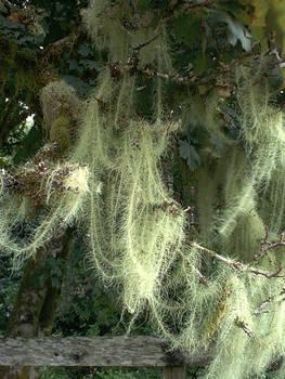 Streamer Moss in Forks, WA