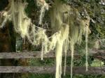 Streamer Moss Two in Forks, WA