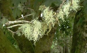 Baby Streamer Moss in Forks WA