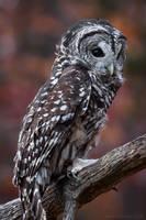 Barred Owl by ryangallagherart