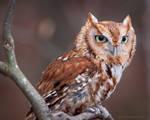 Red Eastern Screech Owl by ryangallagherart