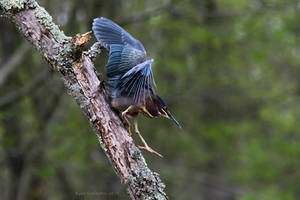 Green Heron Descending by ryangallagherart
