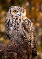 Pharoah Owl by ryangallagherart