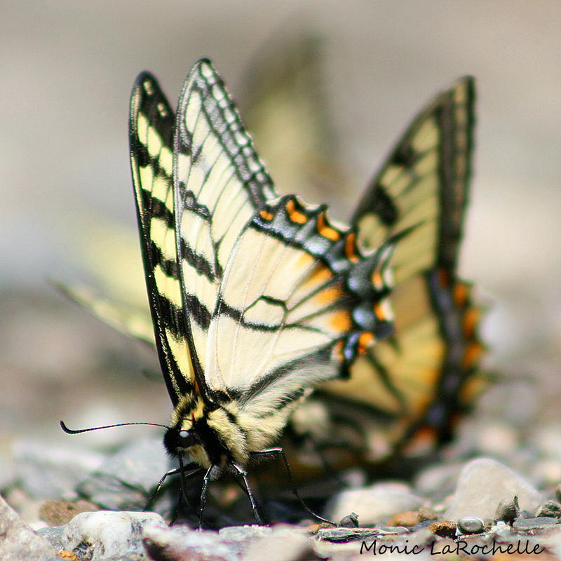 PAPILIO canadensis by HappyMoyeah
