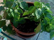 Pepper Plant image III by Empress-XZarrethTKon