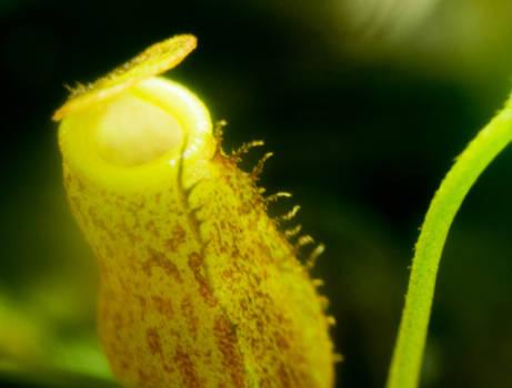 Nepenthes macfarlanei