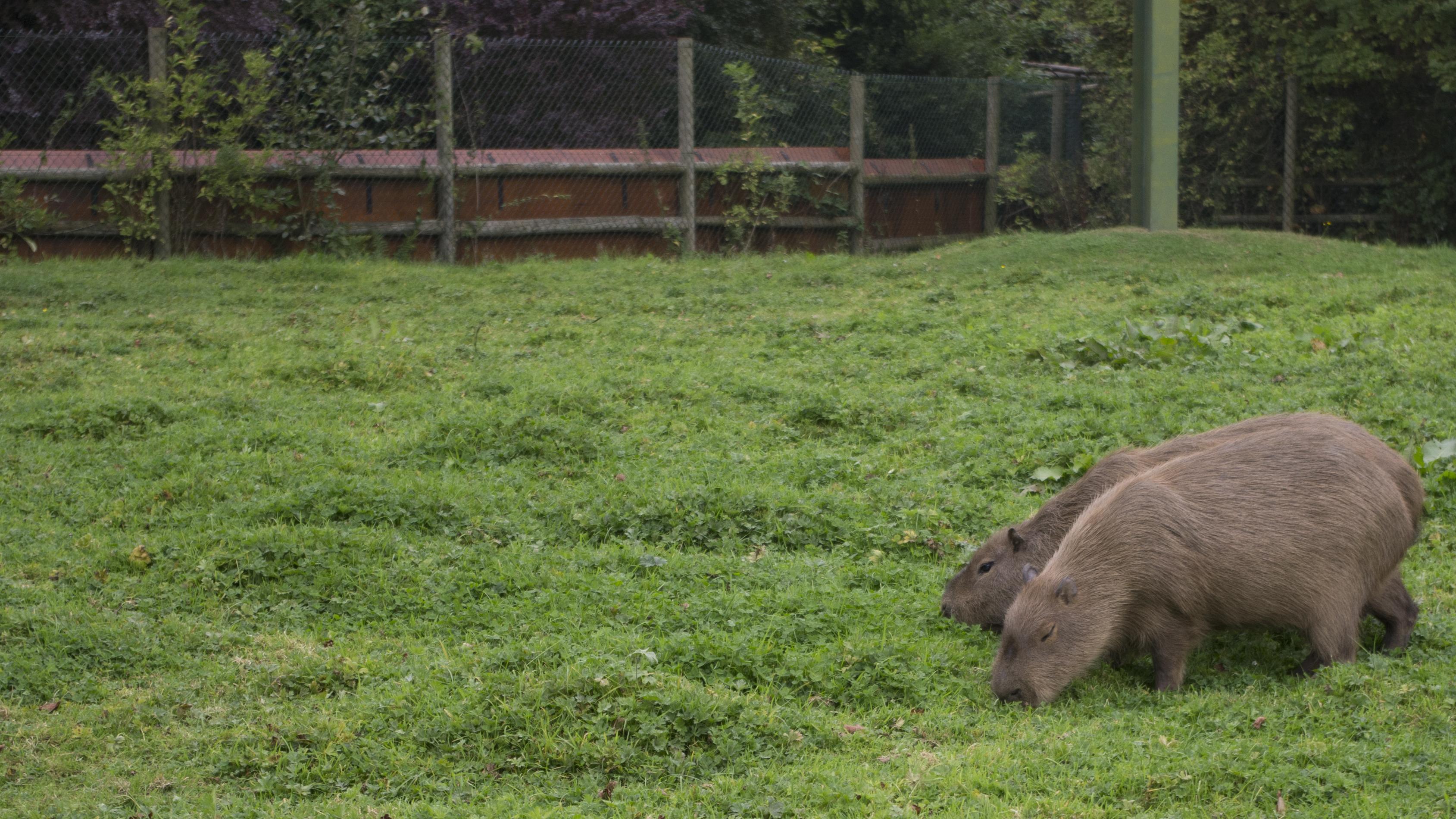 capybaras_doing_capybara_things____by_ze