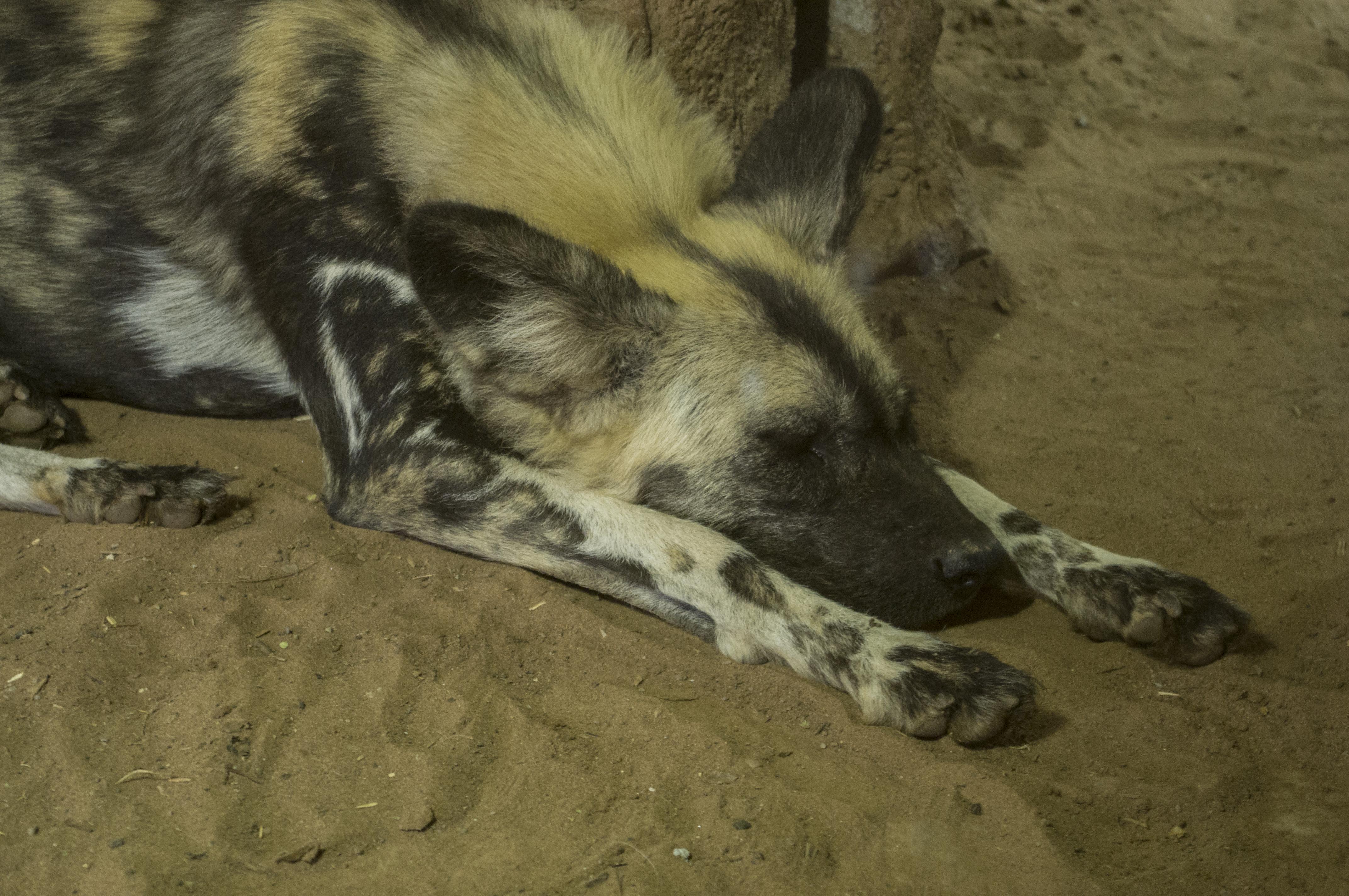 sleeping_ornate_wolf_by_zeealex-d7zqlqq.