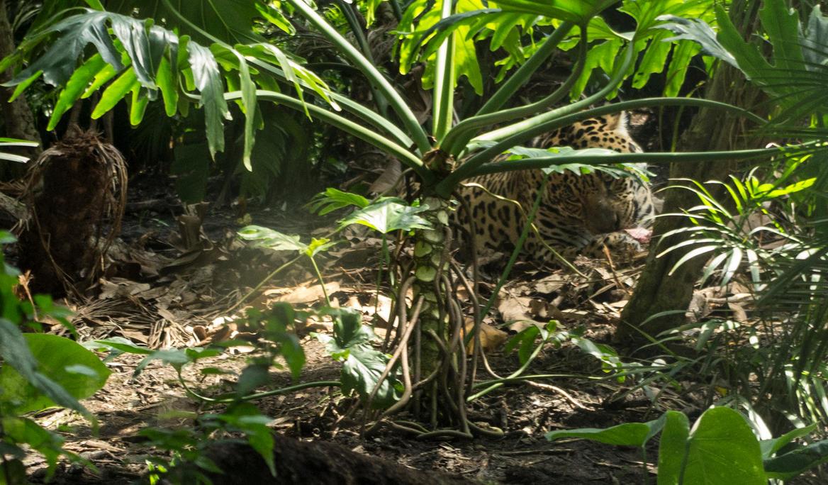 a_very_happy_jaguar_by_zeealex-d7zqnyz.j