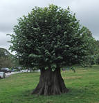 Dwarf Tree 01