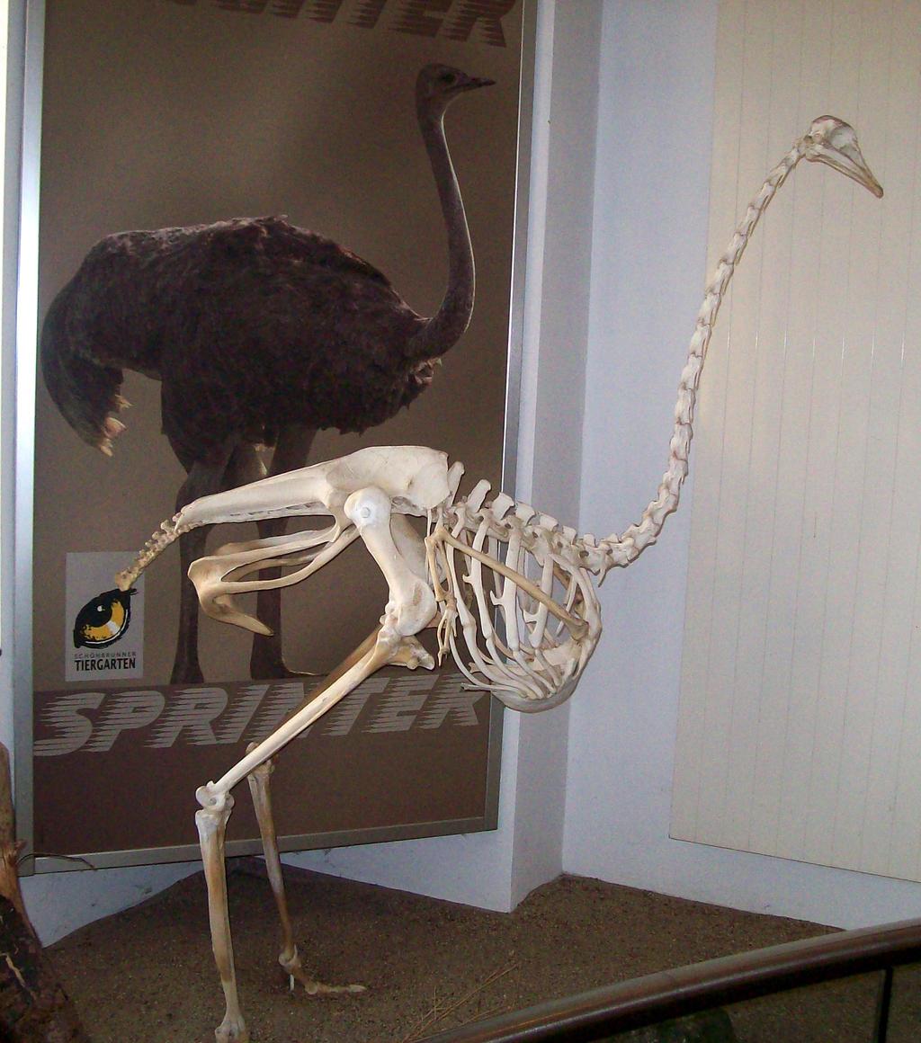 ostrich_skeleton_by_fuguestock d5m4b7h ostrich skeleton