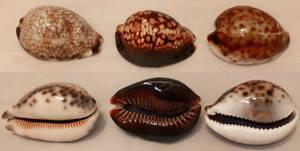 6 Cowry Shells