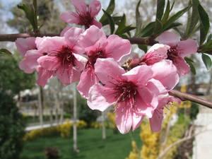 Cherry Blossom by fuguestock