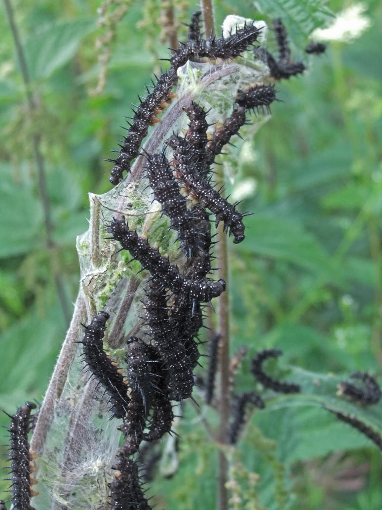 Spiky Black Caterpillars by fuguestock