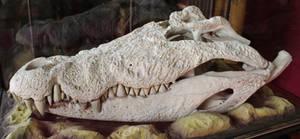 Crocodile Skull - side