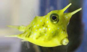 Longhorn Cowfish 2 by fuguestock